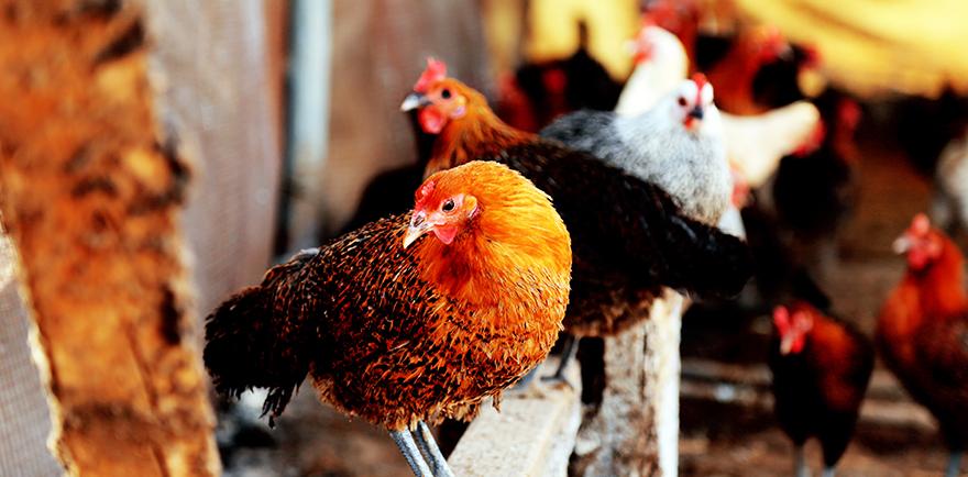 الدجاج البلدي الحر والبيض